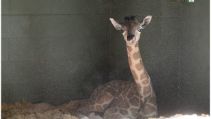 Australia Zoo welcomes beautiful baby giraffe!